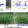 干ばつに強いイネの実証栽培に成功 | 60秒でわかるプレスリリース | 理化学研究所