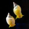 貝の巻き方、決める遺伝子判明 人間の体内構造の解明へ:朝日新聞デジタル